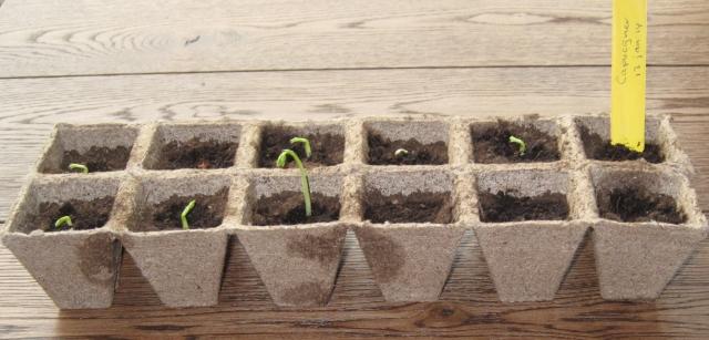 Na 10 dagen zijn een aantal zaden al aardig ontkiemd...