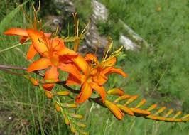 crocosmia-vb