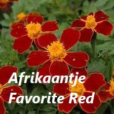 Afrikaantje favorite Red - plaatje bloem met tekst