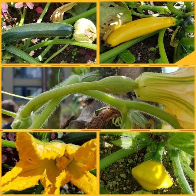 courgette-soorten