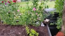 Een nieuwe Citroenverbena in de tuin - een plantje dat opgekweekt is door Marijke. Citroenverbena heeft een heel verfijnde citroengeur en is een van de lekkerste kruiden om thee van te zetten.