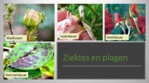ziektes en plagen rozen