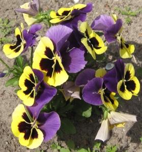 geel-paarse viooltjes