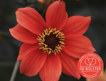 Dahlia-variabilis--Bishop-s-Children--